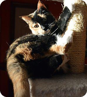 Calico Cat for adoption in Richmond, Virginia - Rosie