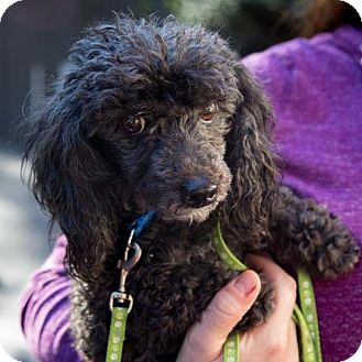 Toy Poodle Dog for adoption in Arlington, Virginia - Maxwell - ADOPTION PENDING!!