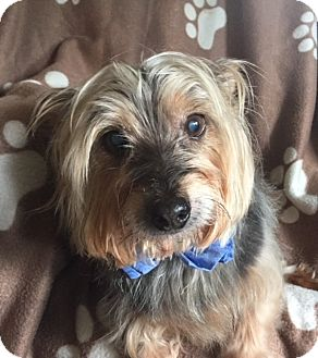 Yorkie, Yorkshire Terrier Dog for adoption in Normal, Illinois - Buddy