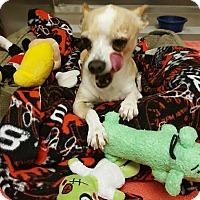 Adopt A Pet :: Sammy - beverly hills, CA