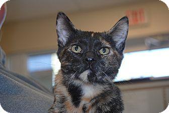 Domestic Shorthair Kitten for adoption in Windsor, Virginia - Marge