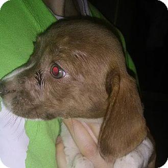 Beagle/Boston Terrier Mix Puppy for adoption in Orlando, Florida - Rachel East Orlando
