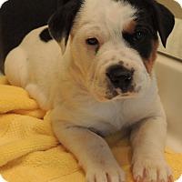 Adopt A Pet :: Teish - pending - Manchester, NH