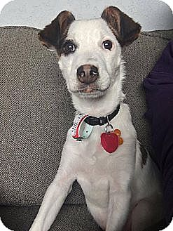 Jack Russell Terrier/Terrier (Unknown Type, Medium) Mix Puppy for adoption in Denver, Colorado - Spike