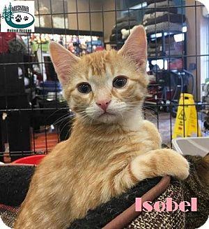 Domestic Shorthair Kitten for adoption in Huntsville, Ontario - Isobel - Adopted January 2017
