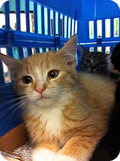 Domestic Shorthair Kitten for adoption in Pittstown, New Jersey - Jessica