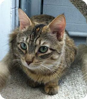 Domestic Shorthair Cat for adoption in Merrifield, Virginia - Tara