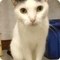 Domestic Shorthair Cat for adoption in St. James City, Florida - Mimi