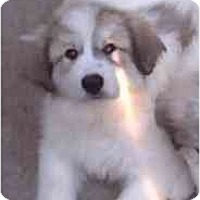 Adopt A Pet :: Ice-Purebred !! - Chandler, IN