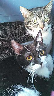Domestic Shorthair Cat for adoption in E. Claridon, Ohio - LITTLE BUDDIE