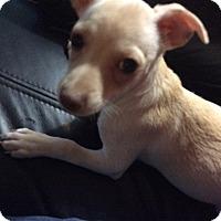Adopt A Pet :: Gracie - S. Pasedena, FL