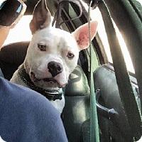 Adopt A Pet :: JARVIS - Birmingham, MI