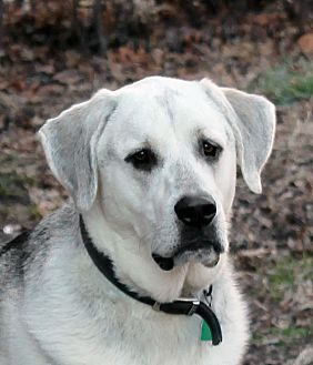 Great Pyrenees/Shepherd (Unknown Type) Mix Dog for adoption in Independence, Missouri - Jackson