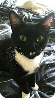 Domestic Shorthair Cat for adoption in Port Huron, Michigan - Tik Tok