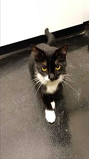 Domestic Shorthair Cat for adoption in Barnwell, South Carolina - Muffin