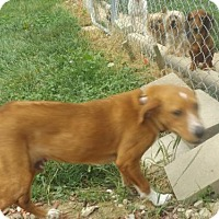 Redbone Coonhound Mix Dog for adoption in Zaleski, Ohio - Wishbone
