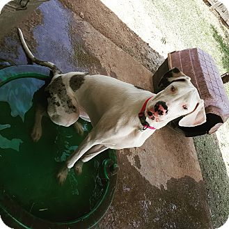 Great Dane Dog for adoption in Abilene, Texas - Ruby