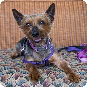 Yorkie, Yorkshire Terrier/Silky Terrier Mix Dog for adoption in St. Louis Park, Minnesota - Myrtle
