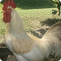 Chicken for adoption in Gloucester, Virginia - PJ