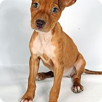 Adopt A Pet :: Brianna LabBox - St. Louis, MO