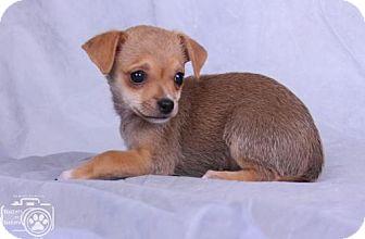 Chihuahua Puppy for adoption in Colorado Springs, Colorado - Dwayne