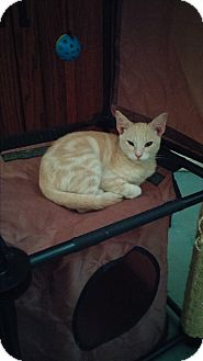Domestic Shorthair Cat for adoption in San Ramon, California - Pumpkin