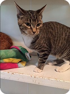 Domestic Shorthair Cat for adoption in Ashland, Ohio - Harold
