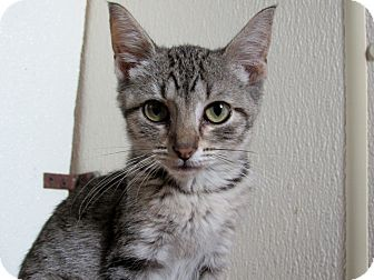 Domestic Shorthair Kitten for adoption in Grinnell, Iowa - Evelyn