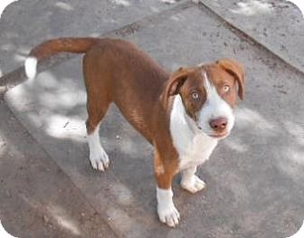 Boxer/Hound (Unknown Type) Mix Puppy for adoption in Peace Dale, Rhode Island - Doyle