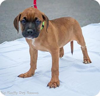 Boxer/Hound (Unknown Type) Mix Puppy for adoption in Enfield, Connecticut - Sunny