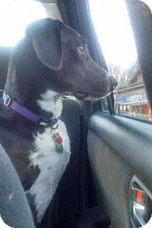 Labrador Retriever/English Pointer Mix Dog for adoption in Montpelier, Vermont - Beau