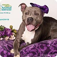 Pit Bull Terrier Dog for adoption in Camarillo, California - *CLOVER