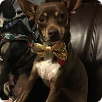 Rat Terrier Dog for adoption in Winston-Salem, North Carolina - Bentley