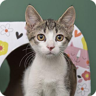 Domestic Shorthair Kitten for adoption in Wilmington, Delaware - Stuffing
