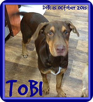 Doberman Pinscher Mix Dog for adoption in Mount Royal, Quebec - TOBI