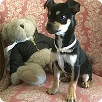 Adopt A Pet :: Dillon - Phoenix, AZ