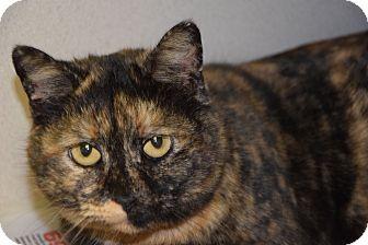 Domestic Mediumhair Cat for adoption in Pottsville, Pennsylvania - Evette