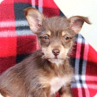 Adopt A Pet :: Elsa - Tiny - Los Angeles, CA