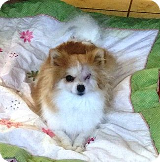 Las vegas nv pomeranian meet lucy a dog for adoption for Dog pound las vegas nevada