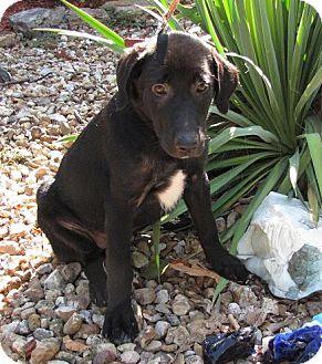 Anatolian Shepherd/Labrador Retriever Mix Puppy for adoption in Oakland, Arkansas - Layla