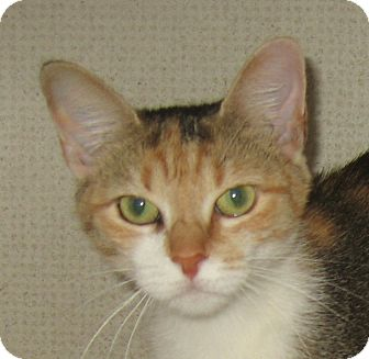 Calico Cat for adoption in Hamilton, New Jersey - KALI-2012