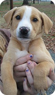 Boxer/German Shepherd Dog Mix Puppy for adoption in East Hartford, Connecticut - Frankie - ADOPTION PENDING