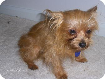 Yorkie, Yorkshire Terrier/Cairn Terrier Mix Dog for adoption in Orange Park, Florida - Harry