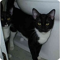 Adopt A Pet :: Domino - San Ramon, CA