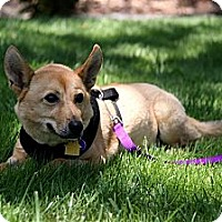 Adopt A Pet :: Cody - Burbank, CA