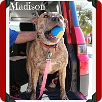 Staffordshire Bull Terrier/Shepherd (Unknown Type) Mix Dog for adoption in Arlington, Texas - Madison-DNA tested