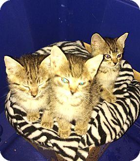 Domestic Shorthair Kitten for adoption in Malvern, Arkansas - kittens - 2 girls/1boy
