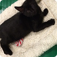 Adopt A Pet :: SWEET black female kitten - Manasquan, NJ