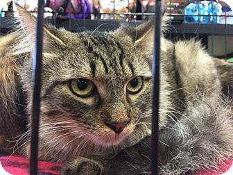 Domestic Mediumhair Kitten for adoption in Herndon, Virginia - Fitzgerald