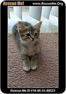 American Shorthair Kitten for adoption in Horseshoe Bay, Texas - Kitty